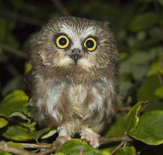 owl_0